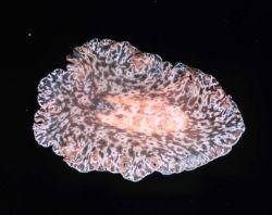 Flatworm Photo