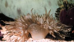White sea anemone Photo