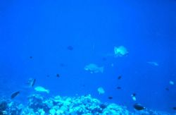 Reef scene with parrotfish in the center. Photo