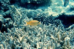 Yellow chromis and coral Photo