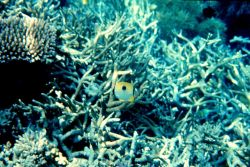Teardrop butterflyfish (Chaetodon unimaculatus) Photo