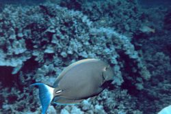 A yellowfin surgeonfish Image