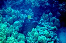 Long-nosed butterflyfish Photo