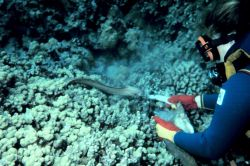 Diver feeding semi-tame moray eel Photo