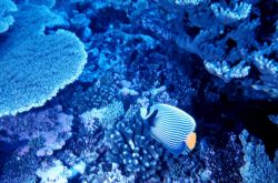 Emperor angelfish Photo