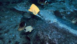 Forcipiger Longirostris , raccoon butterfly fish, bluestripe butterfly fish Photo