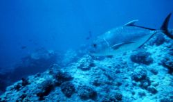Ulua also known as bluefin trevally (Caranx melampygus) Photo