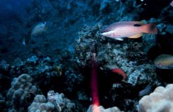 Saddleback hogfish (Bodianus bilunulatus) Photo