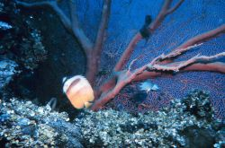Butterfly fish and seafan Photo
