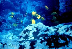 Scene dominated by yellow tang (Zebrasoma flavescens) Photo
