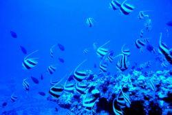 Schooling bannerfish (Heniochus diphreutes) Photo