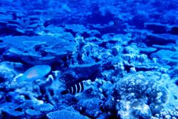 Parrotfish and barred thicklip wrasse Photo
