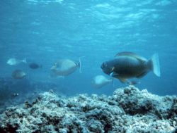 Parrotfish and triggerfish Photo