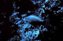 Parrotfish (sp?) Photo