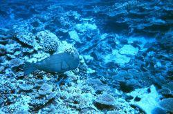 Bumphead parrotfish? Photo