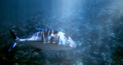 Bluefin trevally Photo
