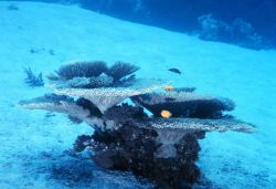 A solitary growth of coral providing habitat to reef fish. Image