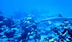 Whitetip shark cruising the reef. Photo