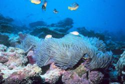 Large anemone with anemone fish and reef fish above. Photo