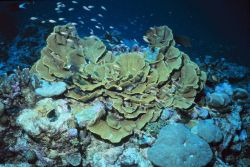 Cabbage coral Photo