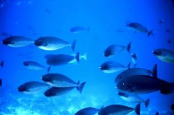 Surgeonfish Photo