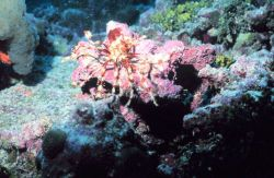 An orange and white crinoid with bubble coral to the upper left Image