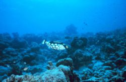 Clown triggerfish (Balistoides conspicillum) Photo