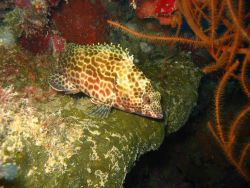 A close-up of the grouper in image reef0514. Photo