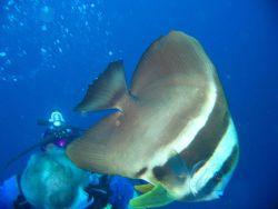 A longfin spadefish (Platax teira). Photo