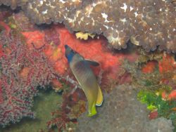 A blacklip butterfly fish (Chaetodon kleinii). Photo
