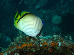 Vagabond butterfly fish (Chaetodon vagabundus). Photo