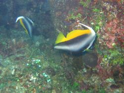 Masked bannerfish (Heniochus monoceros). Photo