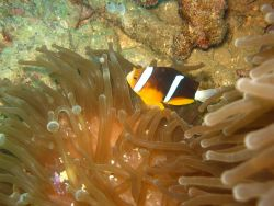 Orange-finned clownfish (Amphiprion chrysopterus) with sea anemone Photo