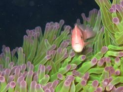 Pink clownfish (Amphiprion perideraion) with sea anemone Photo
