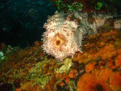 A holothurian (sea cucumber) Image