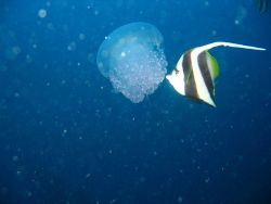 Jellyfish being nibbled on by longfin bannerfish (Heniochus acuminatus). Photo