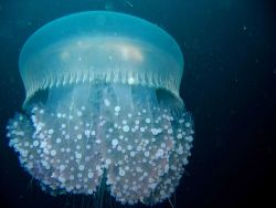 Jellyfish. Photo