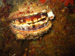 An oyster (Spondylus sp.) Image
