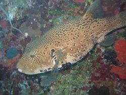 Pufferfish (Arothron sp.) Photo