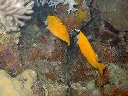 Foxface rabbitfish (Siganus vulpinus). Photo