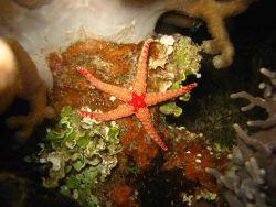 A small orange starfish (Fromia ghardaqana). Image