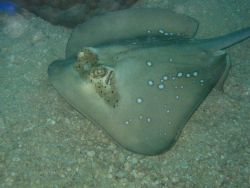 A blue-spotted stingray (Dasyatis kuhlii) on the bottom. Photo