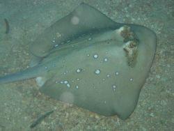 A blue-spotted stingray (Dasyatis kuhlii) on the bottom. Image