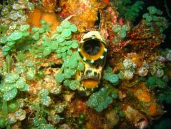 A tunicate - these animals are closely related to vertebrates Image