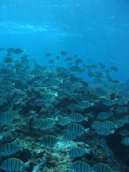 A school of convict tangs (Acanthurus triostegus) Photo