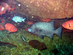 A spotted knifejaw (Oplegnathus punctatus) in center with bigeyes and damselfish. Photo