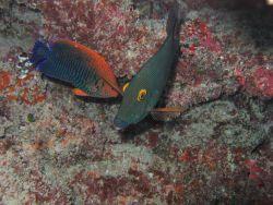 Potter's angelfish (Centropyge potteri) on the left and surgeonfish (Ctenochaetus strigosus) Photo