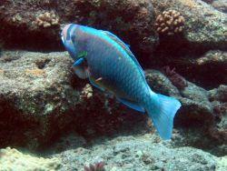 Parrotfish (Chlorurus perspicillatus) Photo