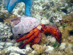 A large white-spotted hermit crab ( Dardanus megistos) Image