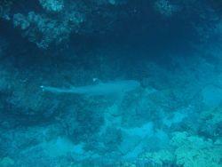A white-tip shark (Triaenodon obesus) Image